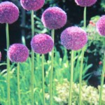 AlliumPurpleSesation