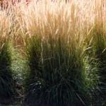 CalamagrostisKarlFoerster