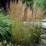 CalamagrostisOverdam