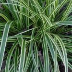 CarexMorrowiiVariegata