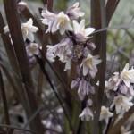 OphiopogonNigrescens