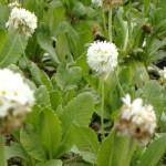 PrimulaDenticulataAlba