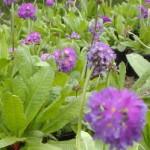 PrimulaDenticulataBlue