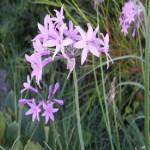 TulbaghiaViolacea